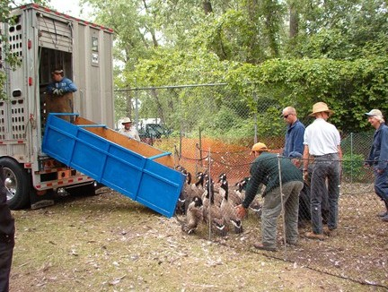 workers rounding up geese into a truck