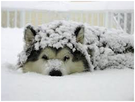Snow Covered Dog