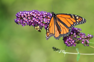 Monarch and Bee on flower