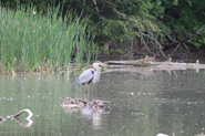 heron on the lake