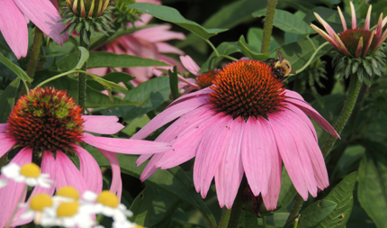 bee on echinacea plant